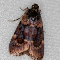Mimaglossa nauplialis (A Pyralid moth) at Melba, ACT - 6 Feb 2021 by Bron