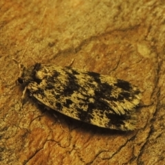 Barea codrella (A concealer moth) at Conder, ACT - 25 Dec 2020 by michaelb