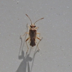 Nysius sp. (genus) (Seed bug) at Gigerline Nature Reserve - 7 Feb 2021 by RodDeb