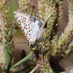 Utetheisa pulchelloides (Heliotrope Moth) at Gigerline Nature Reserve - 7 Feb 2021 by RodDeb