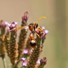 Delta bicinctum (Potter wasp) at Gigerline Nature Reserve - 7 Feb 2021 by RodDeb