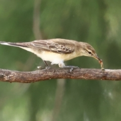 Lalage tricolor (White-winged Triller) at Namadgi National Park - 7 Feb 2021 by RodDeb
