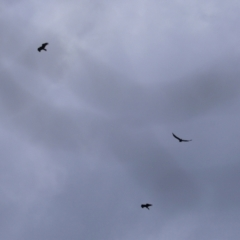 Aquila audax (Wedge-tailed Eagle) at Tharwa, ACT - 7 Feb 2021 by RodDeb