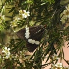 Nyctemera amicus (Senecio or Magpie moth) at Aranda, ACT - 7 Feb 2021 by KMcCue