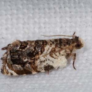 Aeolostoma scutiferana at Melba, ACT - 4 Feb 2021