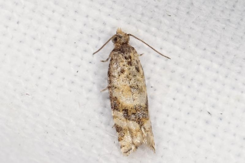 Tortricinae (subfamily) at Melba, ACT - 3 Feb 2021