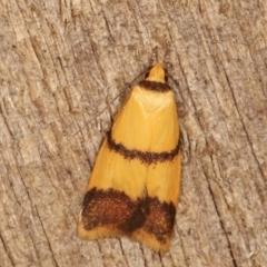 Heteroteucha translatella (A concealer moth) at Melba, ACT - 3 Feb 2021 by kasiaaus
