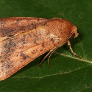Australothis rubrescens at Melba, ACT - 3 Feb 2021