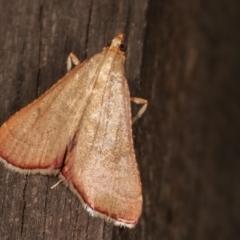 Endotricha pyrosalis (A Pyralid moth) at Melba, ACT - 3 Feb 2021 by kasiaaus