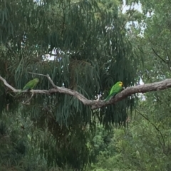 Polytelis swainsonii (Superb Parrot) at Watson, ACT - 7 Feb 2021 by WalterEgo