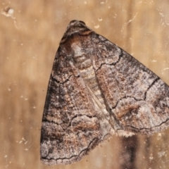 Dysbatus undescribed species (A Line-moth) at Melba, ACT - 3 Feb 2021 by kasiaaus