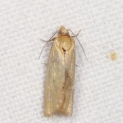 Merophyas divulsana (Lucerne Leafroller) at Melba, ACT - 3 Feb 2021 by kasiaaus
