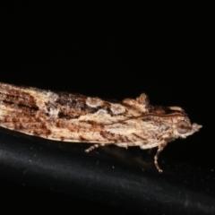Thrincophora lignigerana at Melba, ACT - 3 Feb 2021
