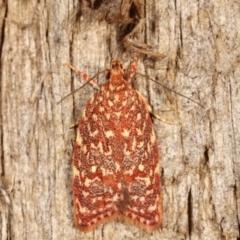 Syringoseca rhodoxantha (A concealer moth) at Melba, ACT - 3 Feb 2021 by kasiaaus