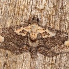 Pasiphilodes testulata (Pome Looper Moth) at Melba, ACT - 3 Feb 2021 by kasiaaus