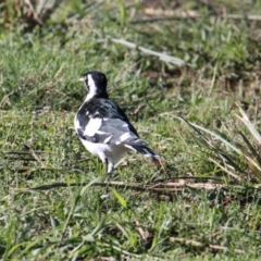 Grallina cyanoleuca (Magpie-Lark) at Lara Lakes Reserve - 7 Feb 2021 by PaulF