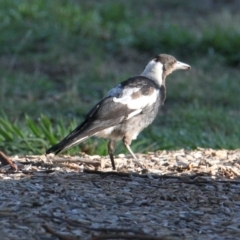 Gymnorhina tibicen (Australian Magpie) at Lara Lakes Reserve - 7 Feb 2021 by PaulF