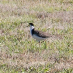 Vanellus miles (Masked Lapwing) at Lara Lakes Reserve - 7 Feb 2021 by PaulF