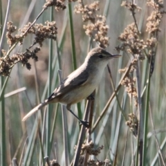 Acrocephalus australis (Australian Reed-Warbler) at Lara Lakes Reserve - 7 Feb 2021 by PaulF