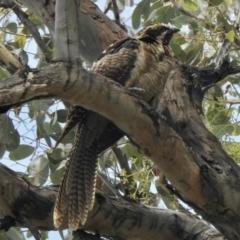 Eudynamys orientalis (Eastern Koel) at Aranda, ACT - 8 Feb 2021 by KMcCue