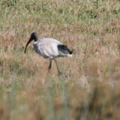 Threskiornis molucca (Australian White Ibis) at Lara Lakes Reserve - 7 Feb 2021 by PaulF