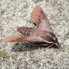 Hippotion scrofa (Coprosma Hawk Moth) at City Renewal Authority Area - 8 Feb 2021 by AaronClausen