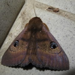 Dasypodia selenophora (Southern old lady moth) at Gundaroo, NSW - 7 Feb 2021 by Christine