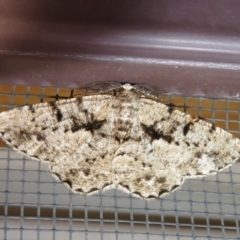Boarmiini (tribe) (Geometer moth) at Flynn, ACT - 6 Feb 2021 by Christine
