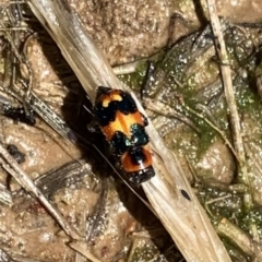 Dicranolaius concinicornis (Melyrid flower beetle) at Murrumbateman, NSW - 6 Feb 2021 by SimoneC