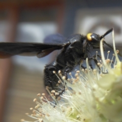 Scolia (Discolia) verticalis (Yellow-headed hairy flower wasp) at Rugosa at Yass River - 8 Feb 2021 by SenexRugosus