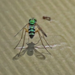Austrosciapus connexus (Green long-legged fly) at Molonglo Valley, ACT - 8 Feb 2021 by RodDeb