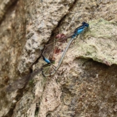 Ischnura heterosticta (Common Bluetail) at National Zoo and Aquarium - 8 Feb 2021 by RodDeb