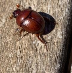 Australobolbus gayndahensis (Geotrupid beetle) at Murrumbateman, NSW - 6 Feb 2021 by SimoneC