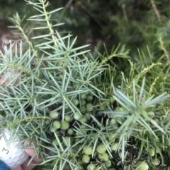 Juniperus communis (Juniper) at Federal Golf Course - 8 Feb 2021 by Tapirlord