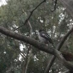 Cracticus torquatus (Grey Butcherbird) at Garran, ACT - 8 Feb 2021 by Tapirlord