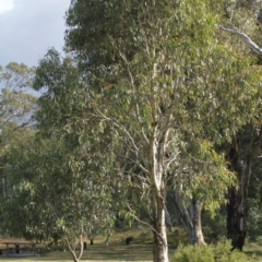 Eucalyptus pauciflora (Snow Gum) at Kosciuszko National Park - 6 Feb 2021 by alex_watt