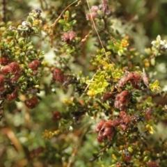 Mirbelia oxylobioides (Mountain Mirbelia) at Kosciuszko National Park - 6 Feb 2021 by alex_watt