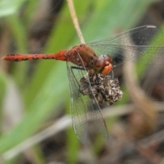 Diplacodes bipunctata (Wandering Percher) at Red Hill Nature Reserve - 8 Feb 2021 by JackyF