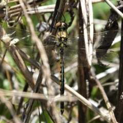 Hemicordulia tau (Tau Emerald) at Red Hill Nature Reserve - 8 Feb 2021 by JackyF