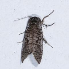 Trigonocytarra clandestina (Less-stick Case Moth) at Melba, ACT - 4 Feb 2021 by kasiaaus