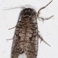 Trigonocytarra clandestina at Melba, ACT - 4 Feb 2021