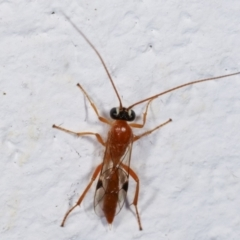 Unidentified Parasitic wasp (numerous families) (TBC) at Melba, ACT - 4 Feb 2021 by kasiaaus