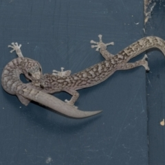 Christinus marmoratus (Southern Marbled Gecko) at Higgins, ACT - 5 Feb 2021 by AlisonMilton