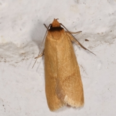 Oecophoridae (family) (Unidentified Oecophorid concealer moth) at Melba, ACT - 4 Feb 2021 by kasiaaus