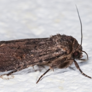 Proteuxoa provisional species 1 at Melba, ACT - 4 Feb 2021