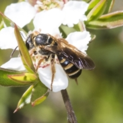 Lasioglossum (Chilalictus) bicingulatum (Halictid bee) at ANBG - 9 Nov 2020 by AlisonMilton
