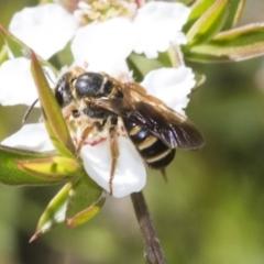 Lasioglossum (Chilalictus) bicingulatum (Halictid bee) at Acton, ACT - 9 Nov 2020 by AlisonMilton