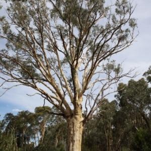 Eucalyptus rossii at Dryandra St Woodland - 5 Feb 2021