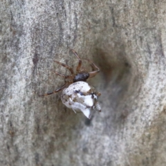 Theridiidae sp. (family) at Dryandra St Woodland - 5 Feb 2021