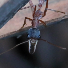 Myrmecia nigriceps (Black-headed bull ant) at Dryandra St Woodland - 5 Feb 2021 by ConBoekel